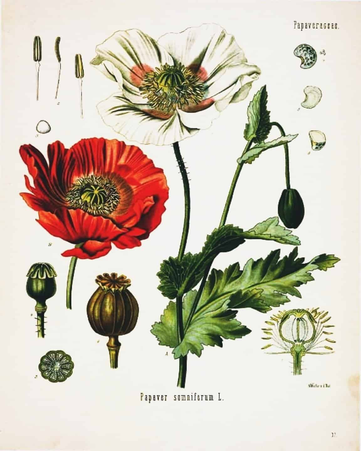 This is an image of Modest Printable Botanical Prints