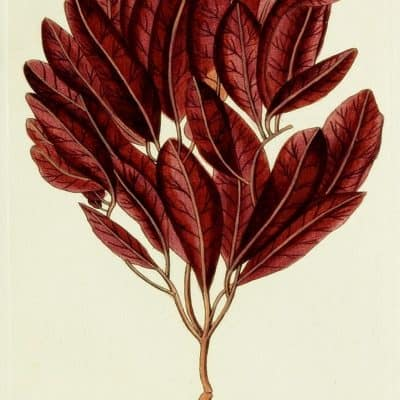 16 Free Printable Burgundy Botanical Prints